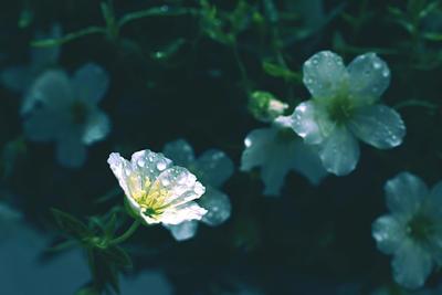 tiny white summer flower in the rain