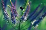 bumblebee is flying in a summer flower field