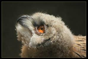 Young eagle owl by Mutabi
