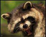 Yawning Coon