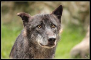 Knick ear wolf by Mutabi