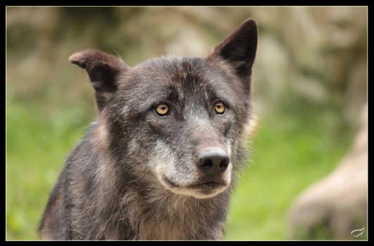 Knick ear wolf