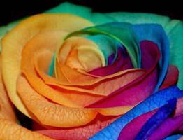 Rainbow Rose by WildLotus
