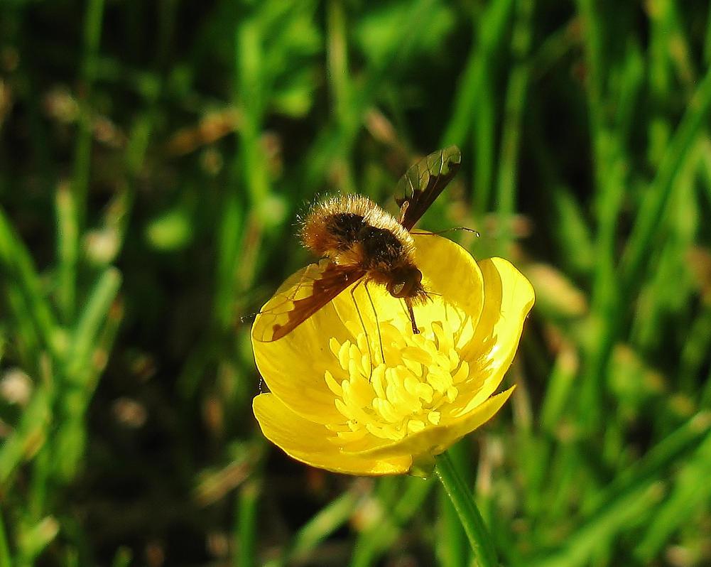 Bee hummingbird flying - photo#20