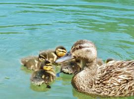 Mother Mallard and Her Flufferbutt Babies by SpiderMilkshake