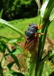 Periodical Cicada by SpiderMilkshake