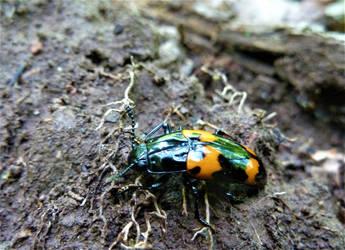 Pleasing Fungus Beetle by SpiderMilkshake