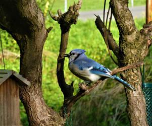 Lovely Blue Jay by SpiderMilkshake