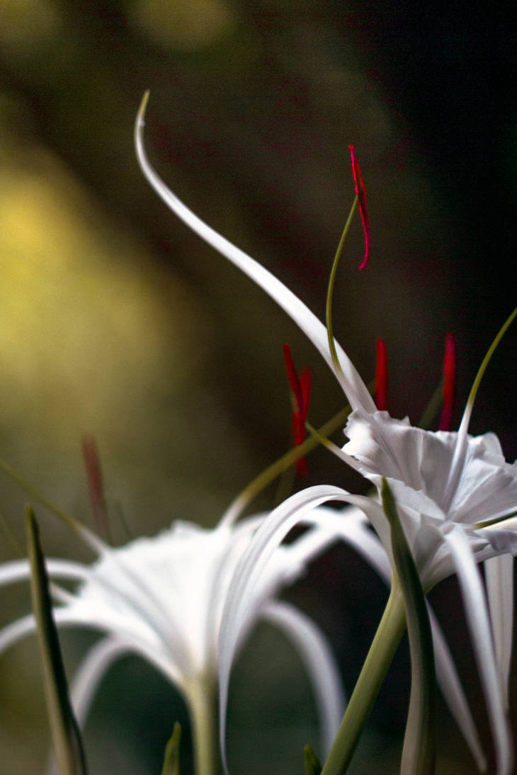 Spiderlily ii by GeorgieDeeArt
