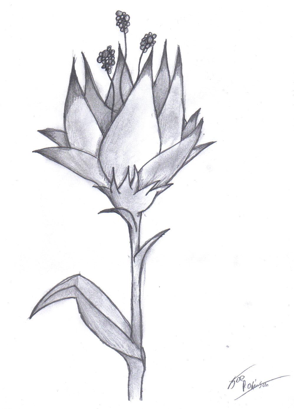 Easy Drawings Of Flowers In Pencil Flower Pencil by darkest-