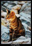 Cat of Rhodes