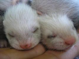 baby ferrets by da-reka