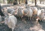 Angora goat herd