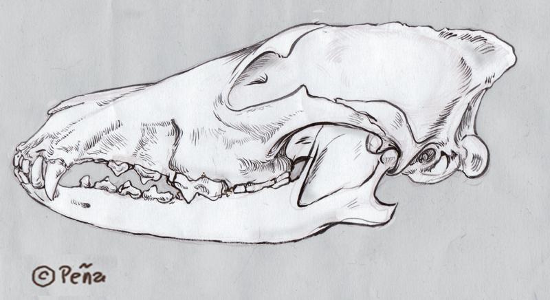 Coyote Skull Diagram - Data Wiring Diagrams •