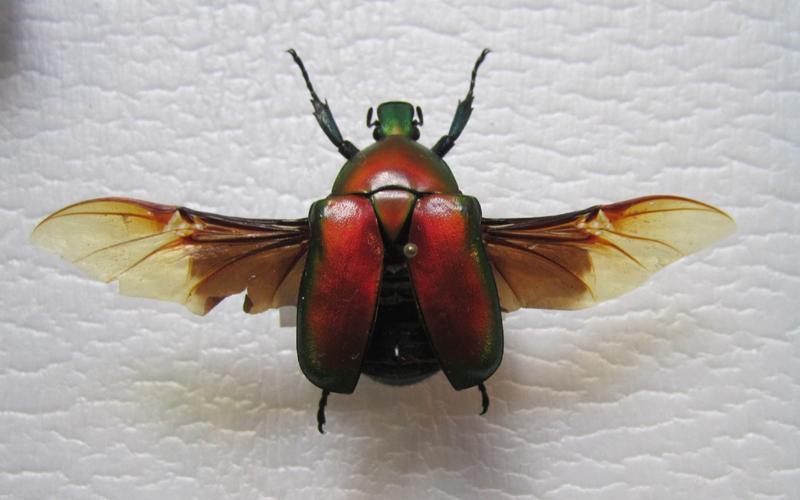 Green June Bug Flying