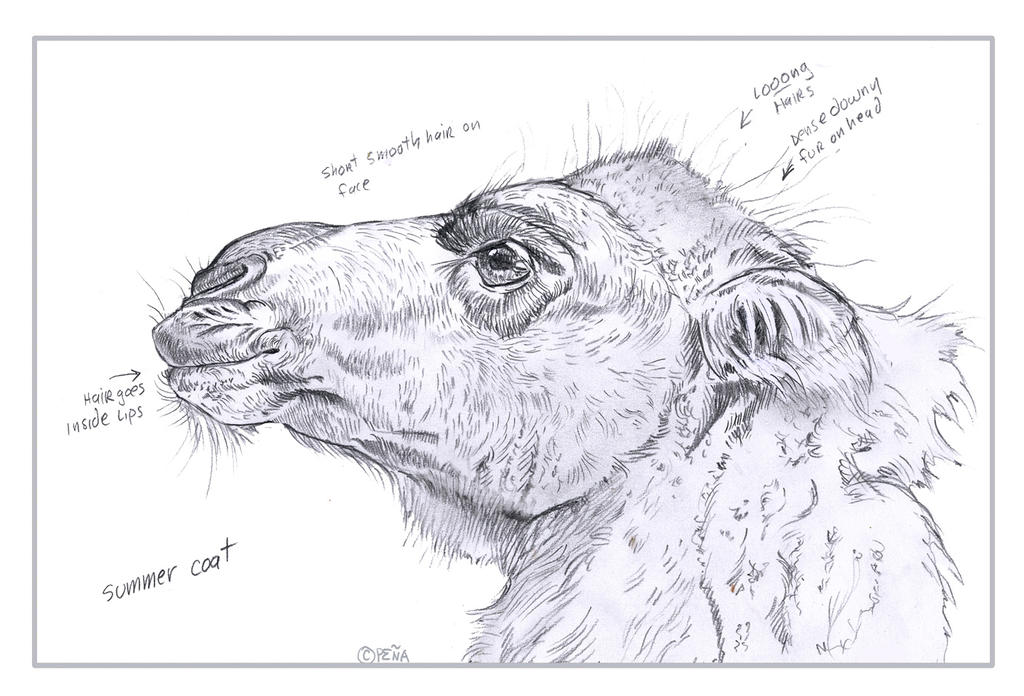 Camel Hair Sketch by Reptangle