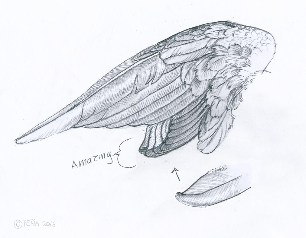 Cockatiel Wing Sketch by Reptangle