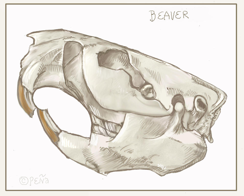 Beaver Skull Sketch by Reptangle on DeviantArt