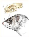 Ferret Skull And Head