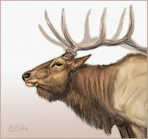 Elk Face by Reptangle