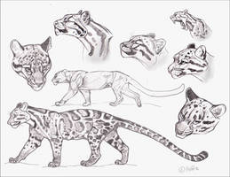 July 5th  Clouded Leopard