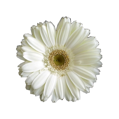 White flower cutout by jackieinnabox on deviantart white flower cutout by jackieinnabox mightylinksfo Gallery