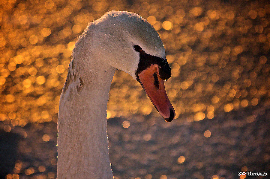 Devious Swan by swrut