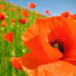 poppy love... by Toni-Dogma