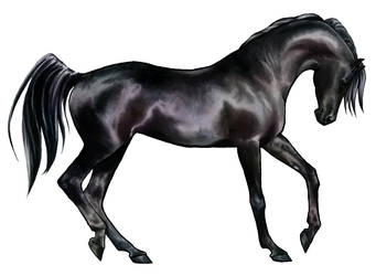 Shai'tan: Black Arabian Horse by akuinnen24