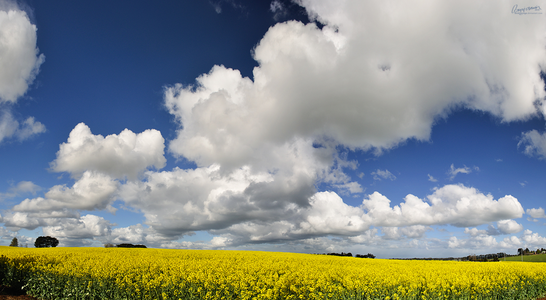 Canola Field Pan by MediaDesign