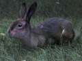Challenge #03: Hairy Hare by hgagne