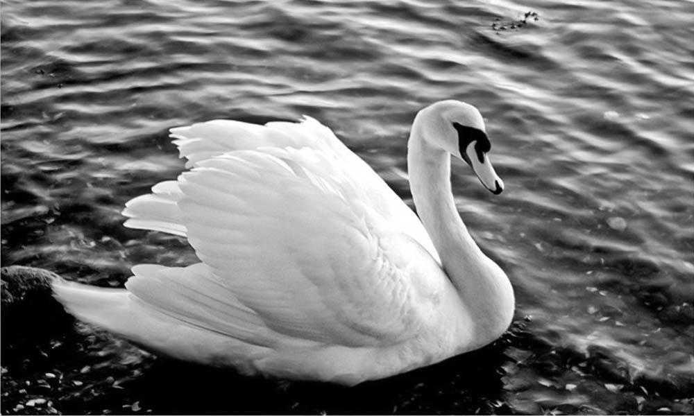 Swan by JennyTangen