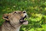 Lioness I