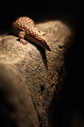 Spiny-tailed monitor by JennyTangen