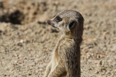Meerkat II by JennyTangen