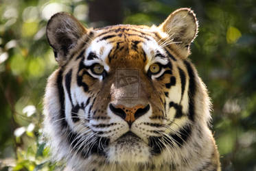 Tiger Portrait by JennyTangen