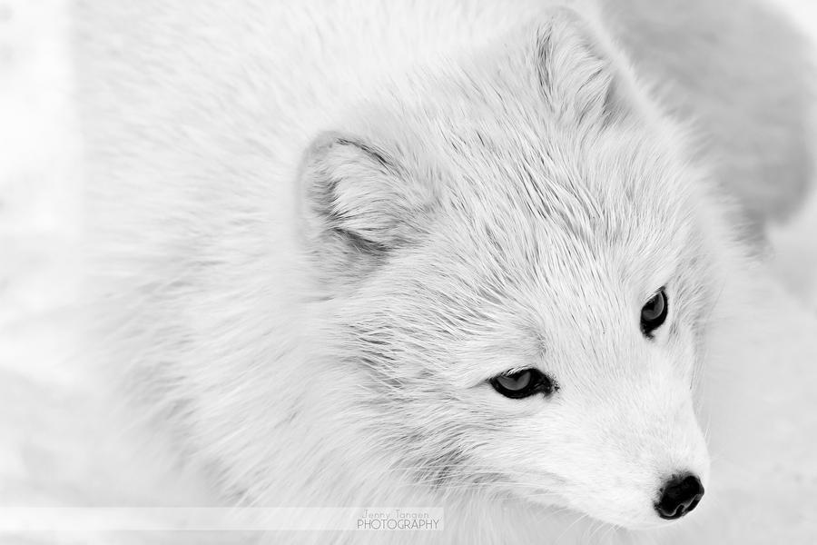 Arctic Fox Portrait 1