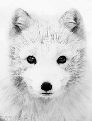 Arctic Fox Portrait 2 by JennyTangen
