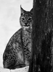 Lynx III