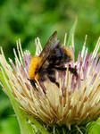 Cabbage Thistle with a bee