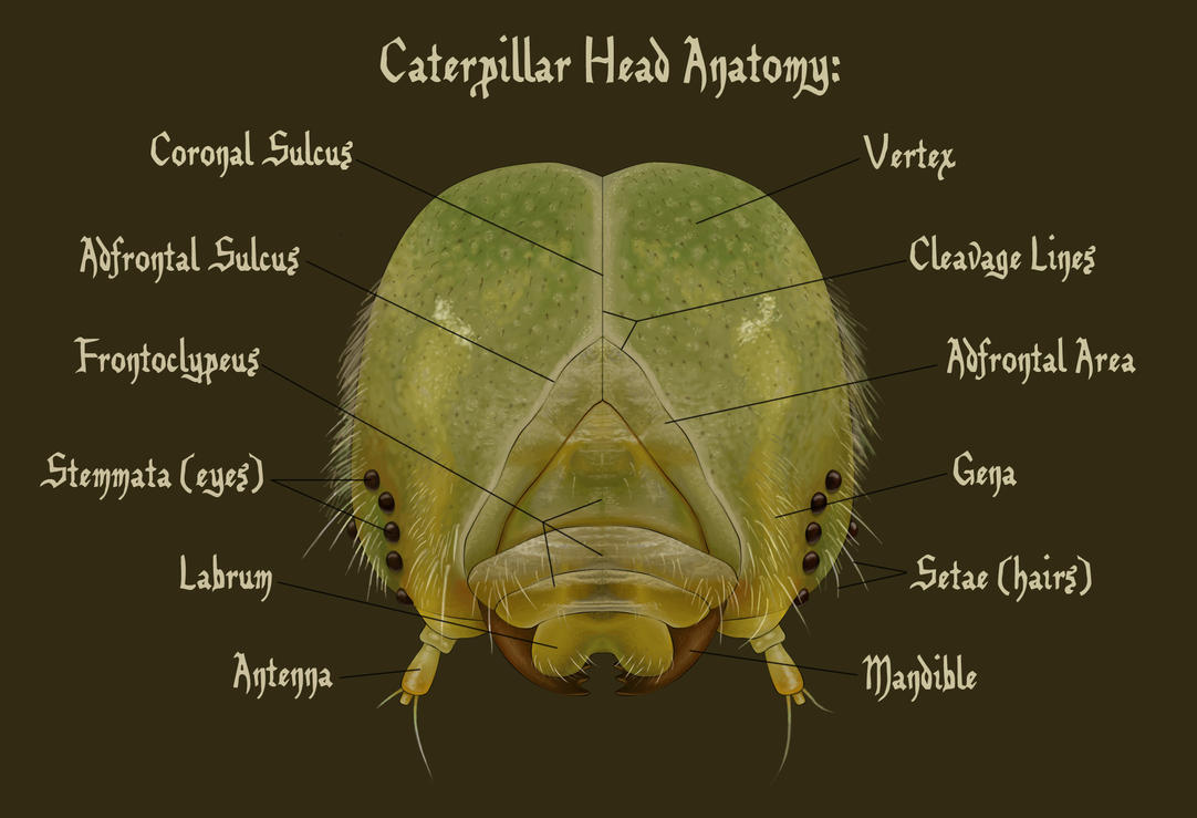 Caterpillar Head Anatomy by HedwigtheStrange