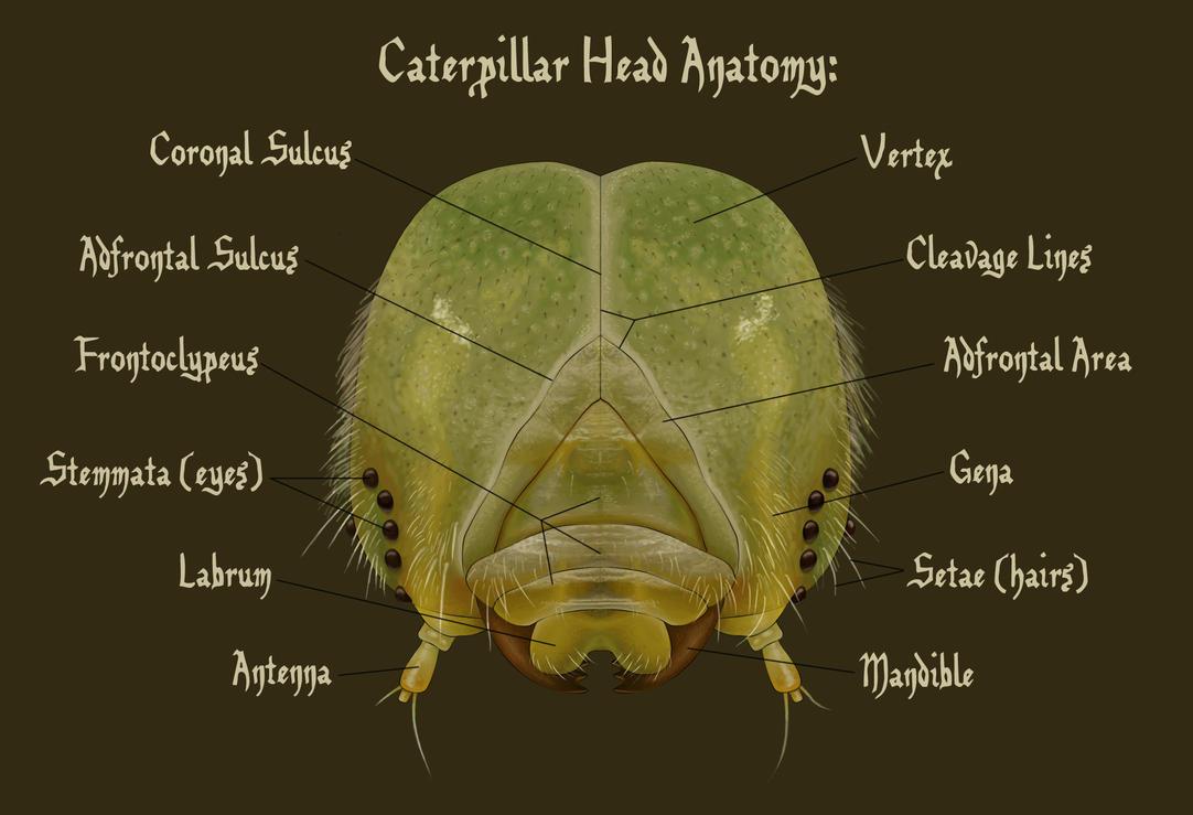 Caterpillar Head Anatomy By Hedwigthestrange On Deviantart