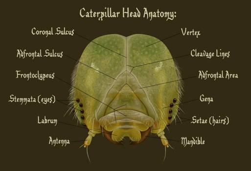 Caterpillar Head Anatomy