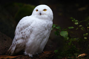 Snowy Owl by MichaelPuschinski