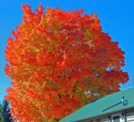 Bayview, Idaho Fall Tree