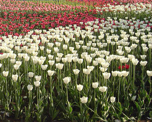 Sea of tulips by snowlotos