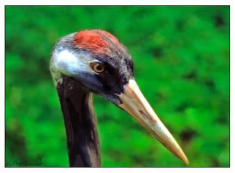 Eurasian crane by Phototubby