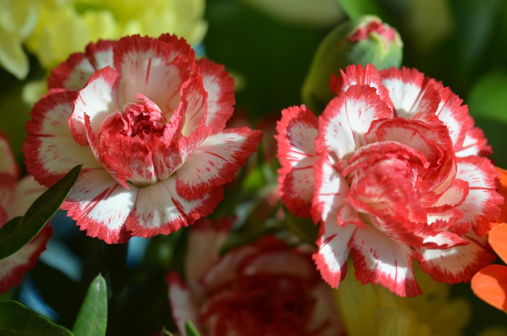 In my garden.(Clove) by Phototubby