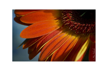Chrysant, detail by Phototubby