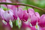 Spring in my garden (Hearts).
